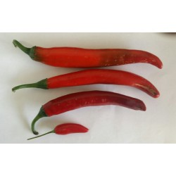 Chillies Long Red x 1